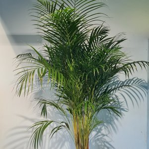 Kentia Palm 2 meter